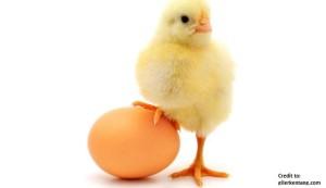 Ayam-Ke-Telur-Dulu-Yang-Keluar