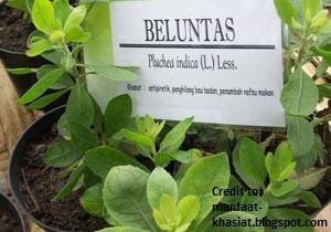 8. Daun beluntas atau nama saintifiknya Pluchea indica